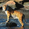 Roar Of Tigers of Sundarban