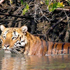 Stay With Tigers of Sundarban