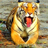 Real Bengal Tigers Of Sundarbans